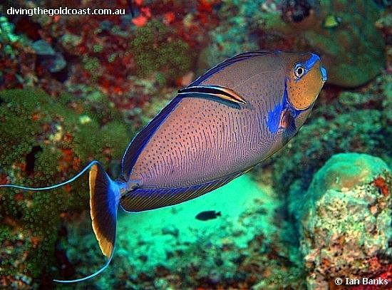 Naso Vlamingii Naso Singapore Reef Club Sgreefclub