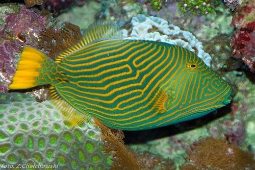 undulate triggerfish balistapus undulatus triggerfish