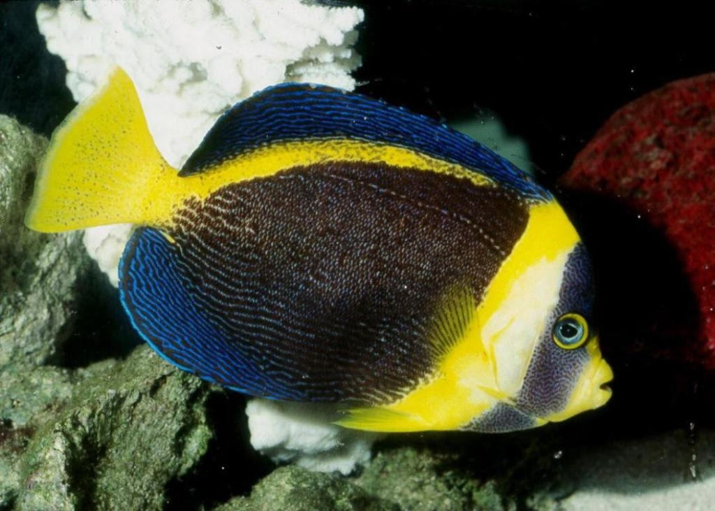 Scribbled angelfish chaetodontoplus duboulayi for Fish compatible with angelfish