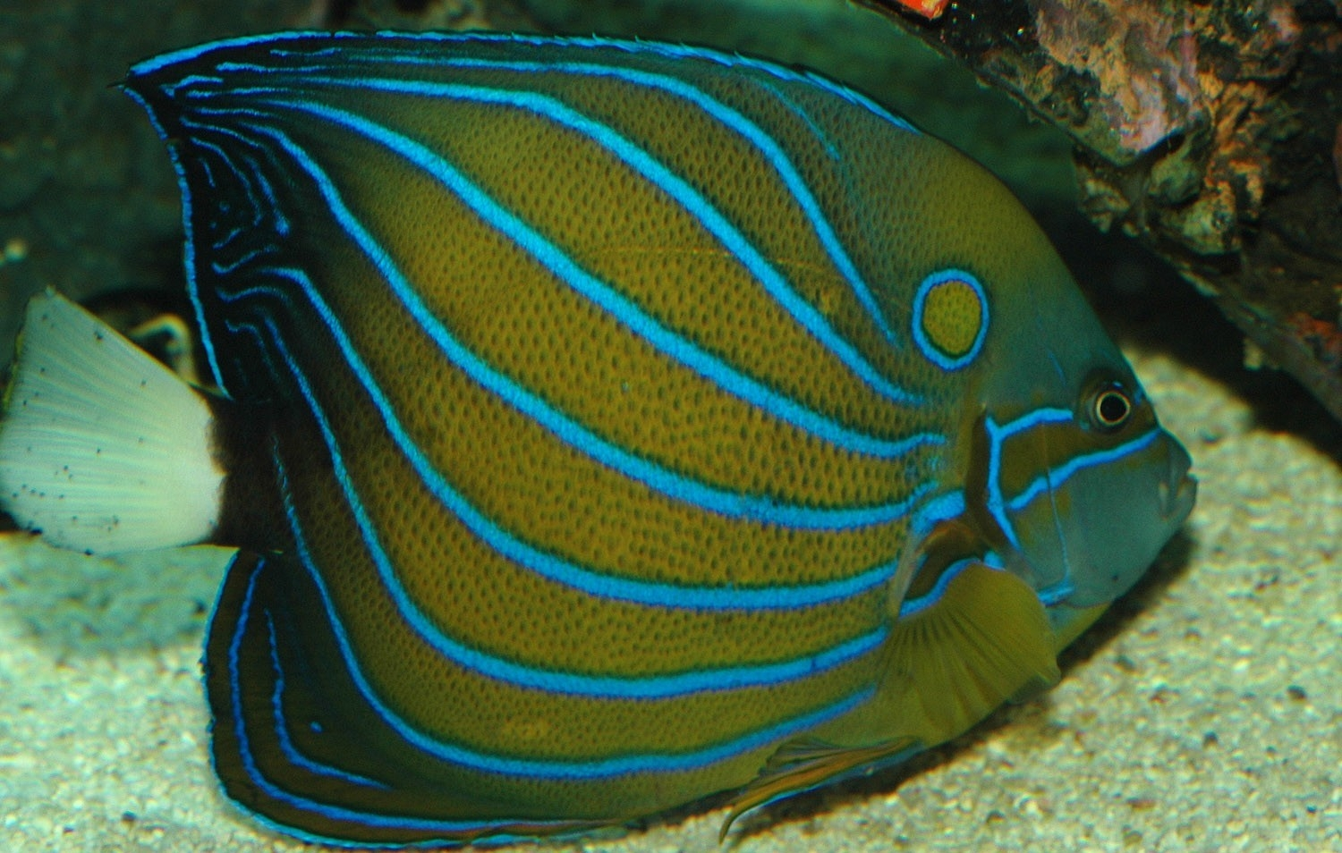 Blue ring angelfish pomacanthus annularis pomacanthus for Fish compatible with angelfish
