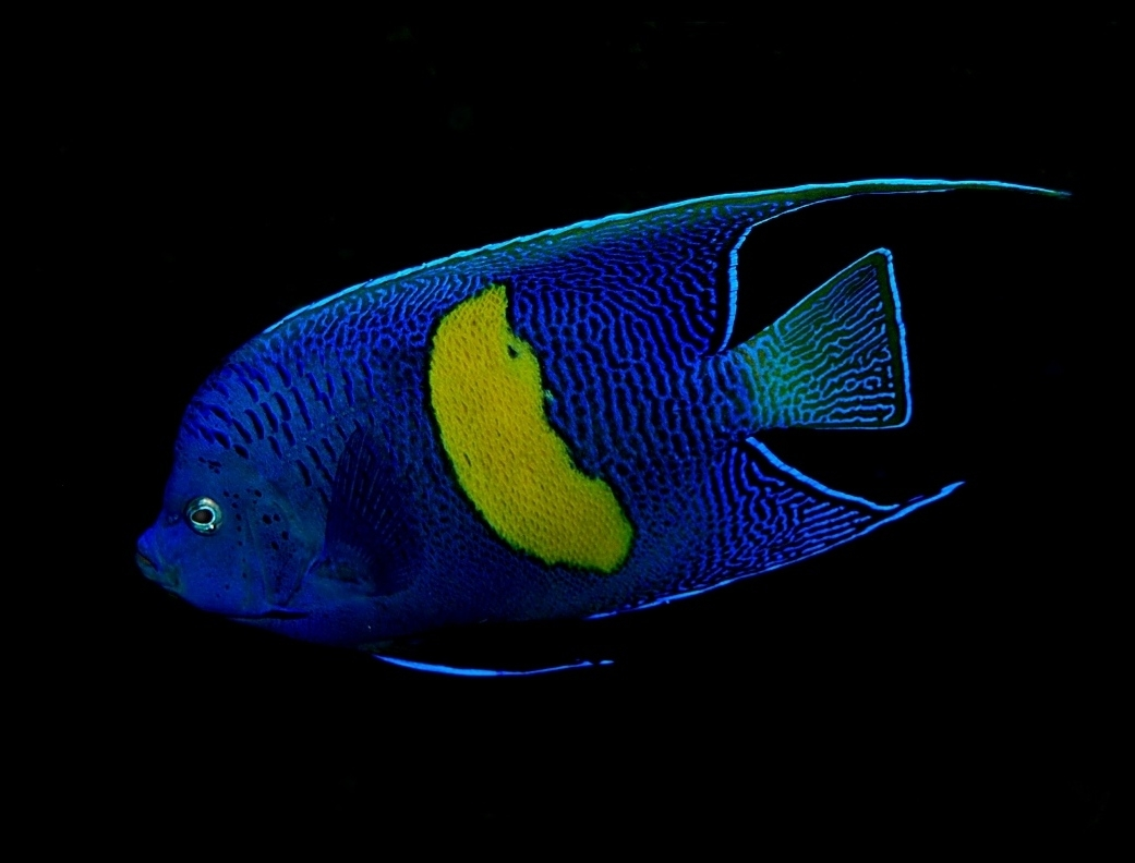 Maculosus angelfish pomacanthus maculosus pomacanthus for Fish compatible with angelfish