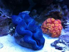 Sea Clam