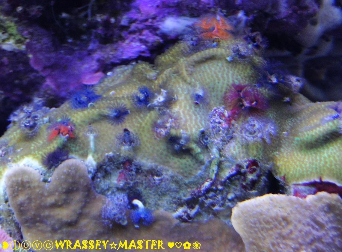 Christmas Tree Worms Rock Of Porites Coral Members Gallery