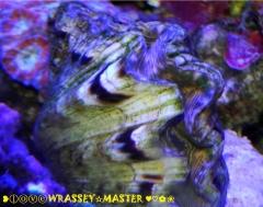 Hippopus Clam - Aquacultured aka Hippopus hippopus