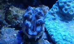 mini clam