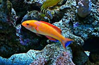 Fish For Sale Johnsoni Fairy Wrasse Sell Off Pasar