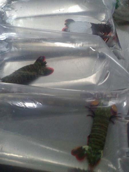Mantis Shrimp- Odontodactylus scyllarus.jpg