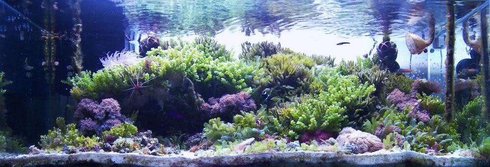 Marine planted tank - Page 3 - Marine Aquarium plants & Algae ...