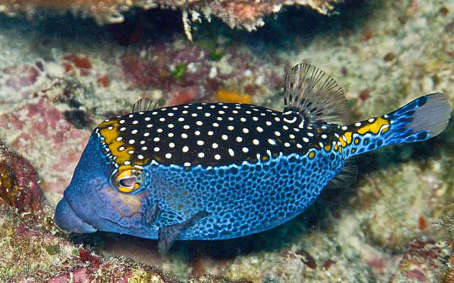 Blue spotted box fish love it or hate it weekly fish for Fish of hawaii