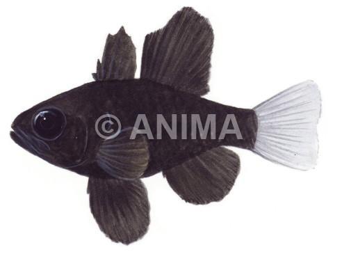 Rare Oddball For Sale Sailfin Cardinalfish Pterapogon