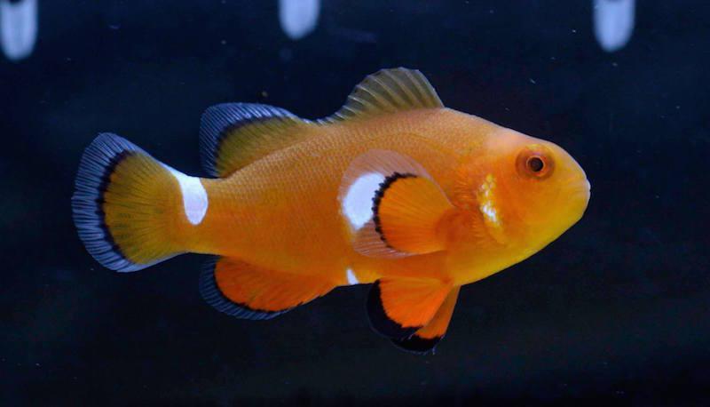 aberrant-clownfish-misbar-6.jpg