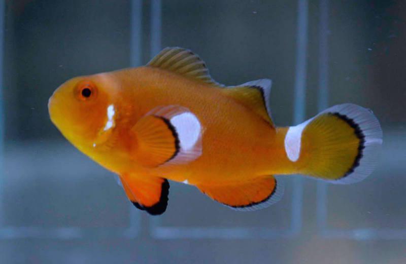aberrant-clownfish-misbar-7.jpg