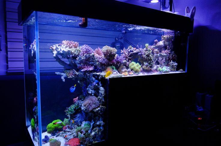 Drop off reef tank setup of a marine tank singapore for Blue fish aquarium