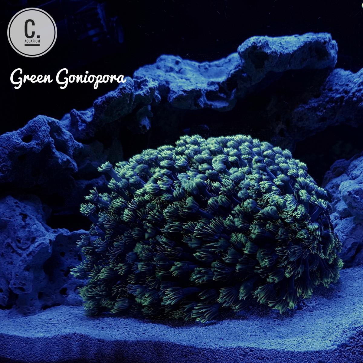 Green Flowerpot Coral
