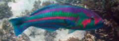 Thalassoma purpureum
