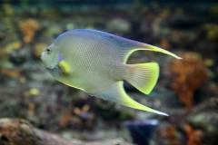 Blue angelfish ( Holacanthus bermudensis  ) - Adult