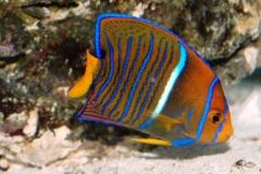 Passer Angelfish (Holacanthus passer) - Juv