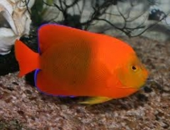 Clarion Angelfish ( Holacanthus clarionensis ) - Adult Size
