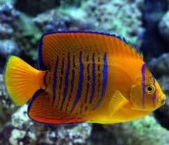 Clarion Angelfish ( Holacanthus clarionensis ) - Juv