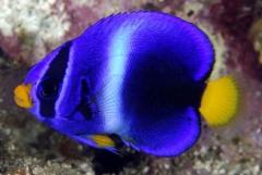 African angelfish (  Holacanthus africanus  ) - Juv
