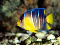 Blue Angelfish (Holacanthus isabelita) - Juv