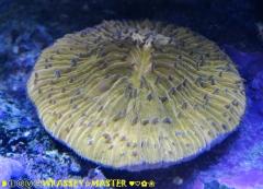 Plate Coral-Orange aka Cycloseris spp.