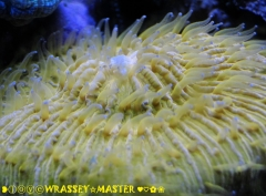 Plate Coral-Orange aka Cycloseris spp