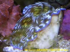 Tridacna derasa  - Aquacultured