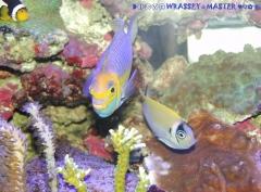 Genicanthus semifasciatus PAIR ( Male & Female )
