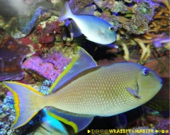 Red Tail Triggerfish aka Xanthichthys ringens with Crosshatch X Bluethroat Triggerfish Hybrid ❤ღ。◕‿◕。ღ❤ aka Xanthichthys mento X auromarginatus