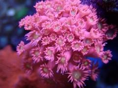 Pink Gonio