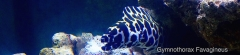 Tesselata Moray Eel