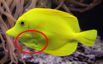 Bumps under the skin of my yellow tang - Disease treatment/parasite/pest  control - Singapore Reef Club - The number one resources portal and  community for all saltwater reef aquarium keeping hobby in