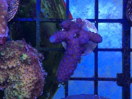 purple blue humilis_rs.jpg