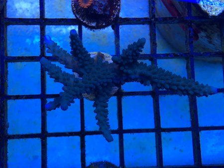 teal blue stag_rs.jpg