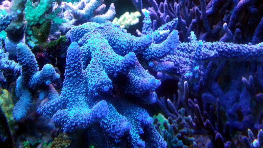 blue spathulata.jpg
