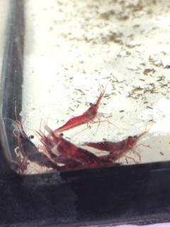 white spot shrimp2.JPG
