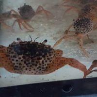 panther crab1.jpg