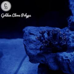 Golden Clove Polyps