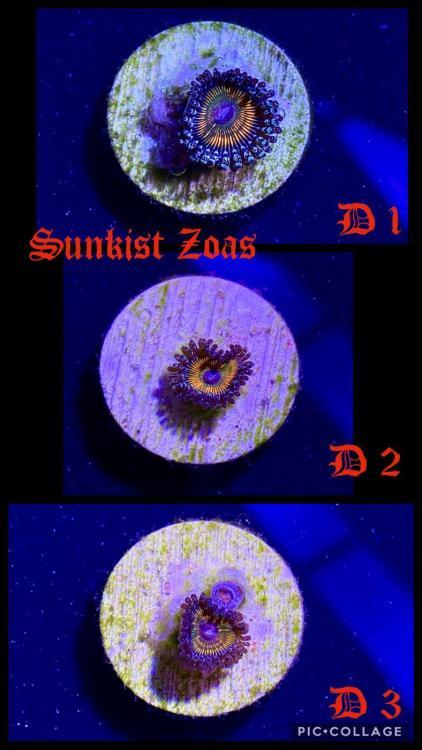 441108081_SunkistZoas1.thumb.jpg.f6cbb56ca2c2cbcf9fb9fa2f8d2c76c4.jpg