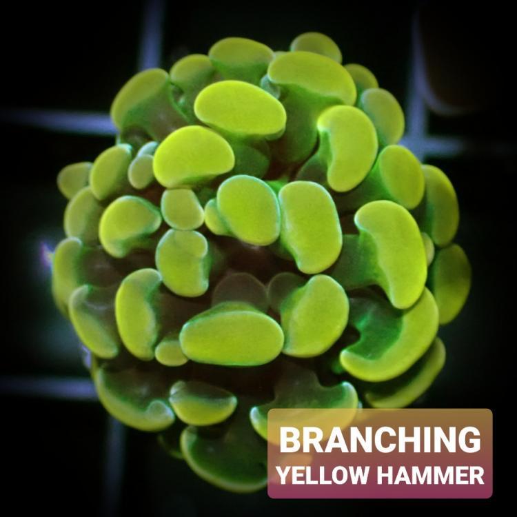 901071442_YellowHammer.jpeg.b67aa0be4b69202822f60b9349e159f8.jpeg