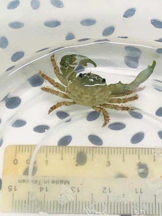 Emerald Crab DS.jpg
