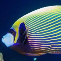 Blue Reefer