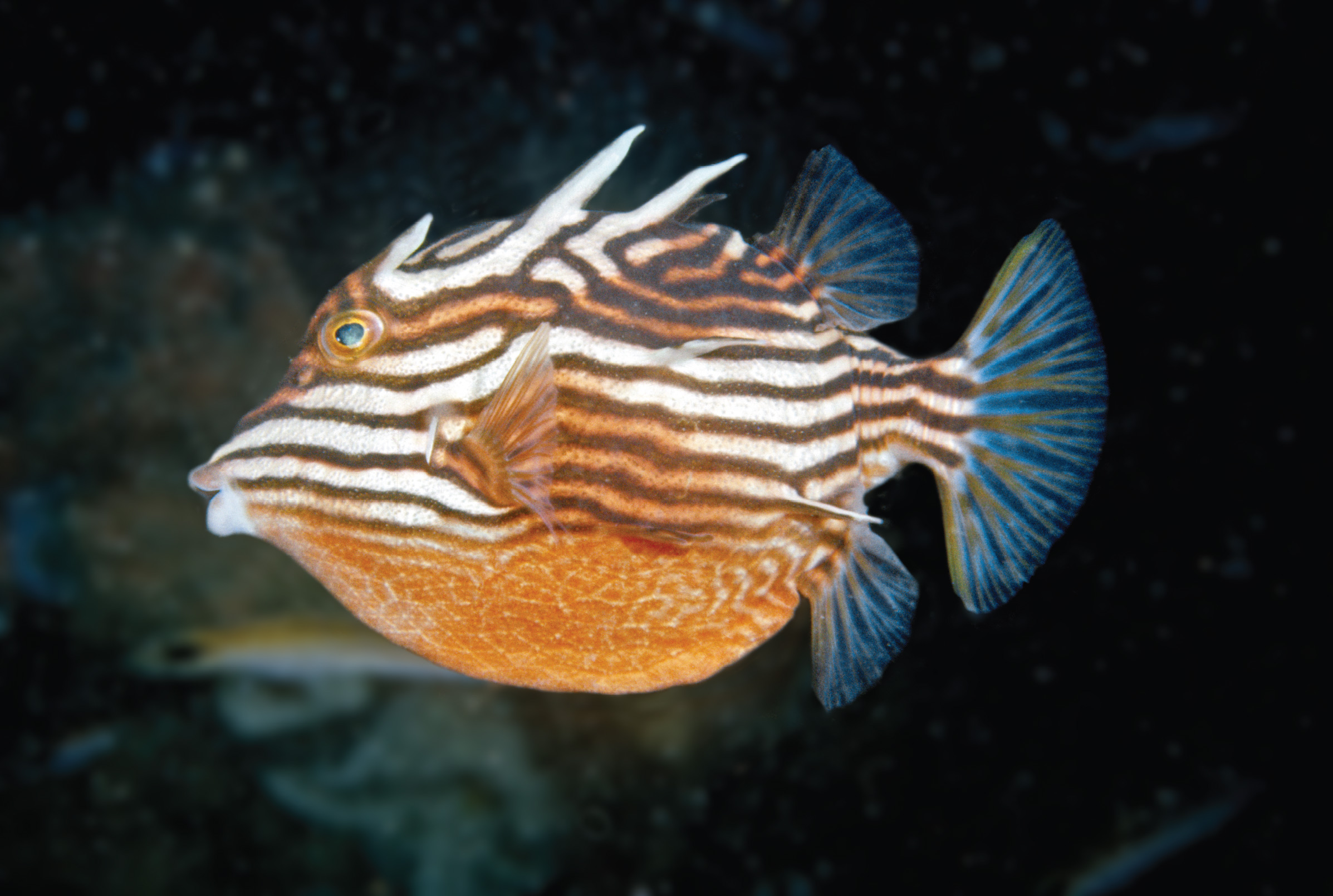 Australia Aracana Ornate Box fish