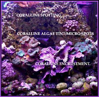 Ways to encourage coraline Algae growth in your tank