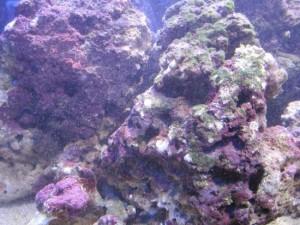 coraline algae rock
