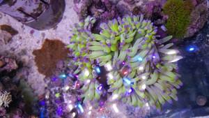 rare heteractis magnifica anemone