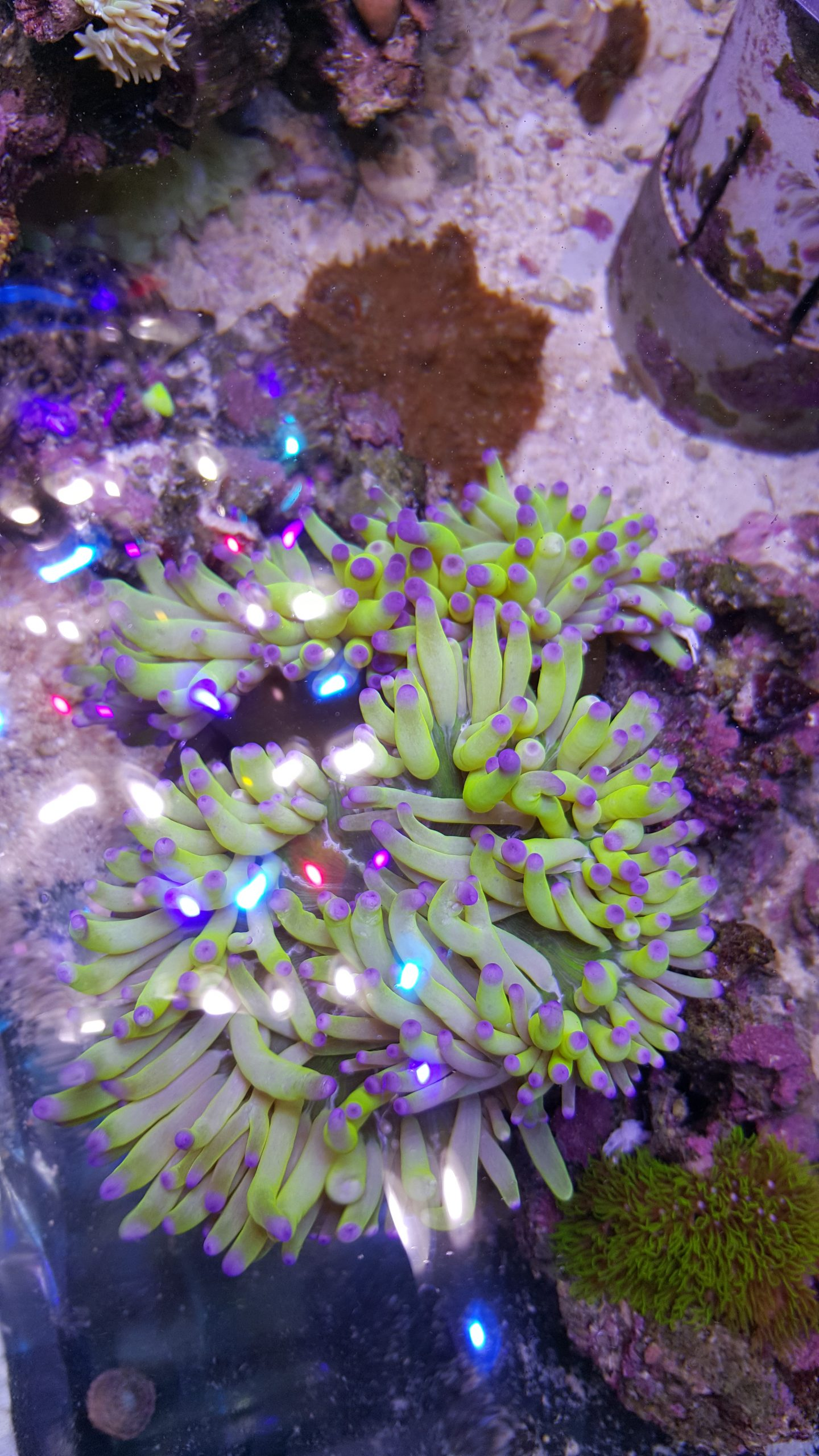 This striking Ritteri anemone is one that you don't get to see in every shipment
