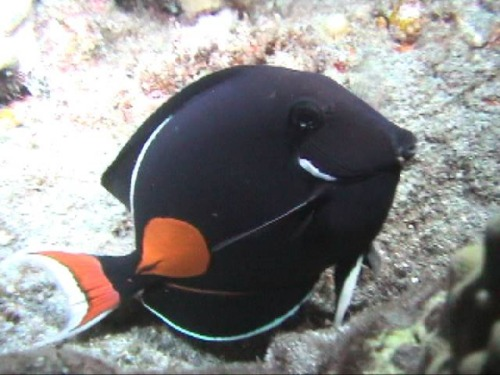 Acanthurus Achilles Tang – The Most handsome tang in the Aquarium