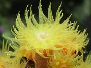 sun coral polyp